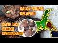 - BUKA HASIL SUNGKUP BAHAN BONSAI KELAPA DI DALAM EMBER!!!  Wayan Darmawan
