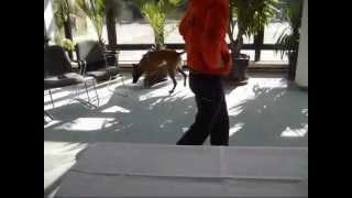 Sprengstoffspürhund K9 Ausbildung Spürhund Suchhund Explosive Detection Dog Training