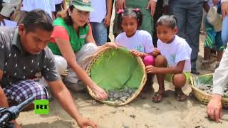 Cientos de tortugas taricayas fueron liberadas en Perú