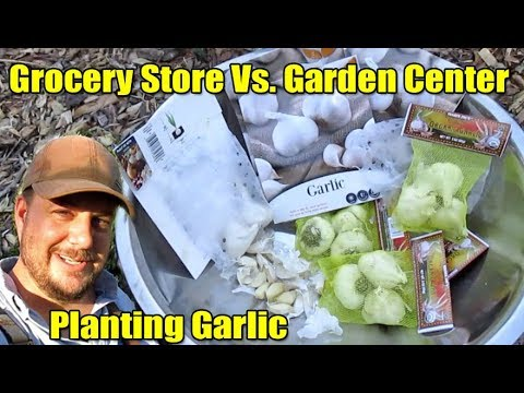 'Tis The Season To Grow Garlic | Grocery Store Vs. Garden Center Varieties.
