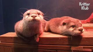 Baby Otter Brothers Are Ditched By Their Own Mother? (Part 2) | Kritter Klub