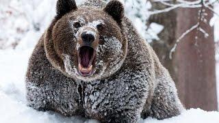 Возможно ли спастись от медведя притворившись мертвым?
