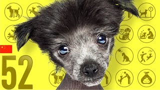 Chinese Crested Dog❤Cute and Funny Dog breed videos
