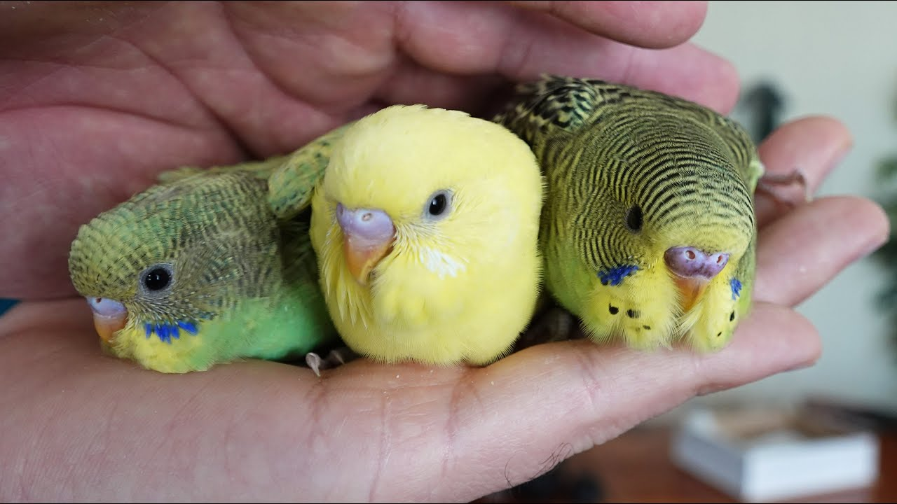 Download Muhabbet Kuşu Yavruları Kuş Odası Vlog
