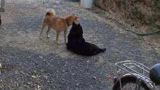 甲斐犬くーちゃん(♀)と柴犬ハッピー(♂)がイチャイチャしてますよ~。 く...
