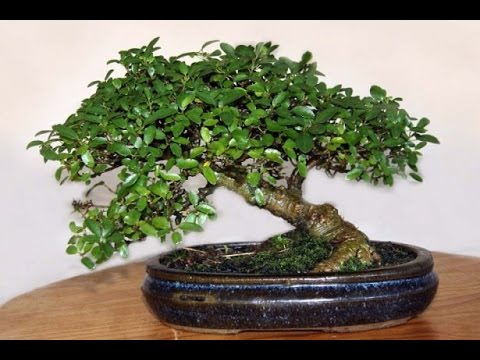 Ginseng Grafted Ficus Bonsai Tree Youtube