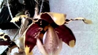 Stanhopea tigrina var. nigroviolacea, floraci�n
