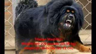 ►►  Лучшее сторожевые собаки в мире