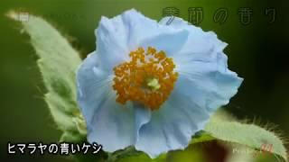 マルオカ「季節の香り」7月(4K撮影) ヒマラヤの青いケシ他