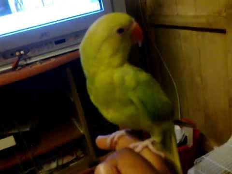 anak parrot.mp4