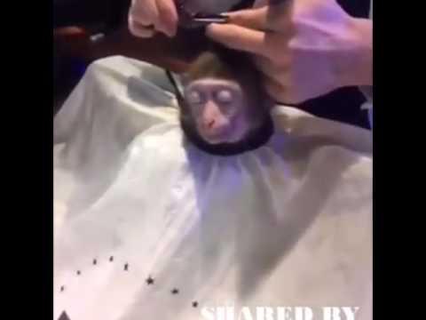 Monkey Getting A Haircut Youtube