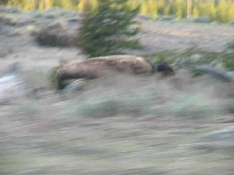 Running Bison in Yellowstone