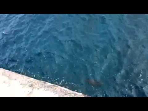 南大東島 活き餌で磯マグロ