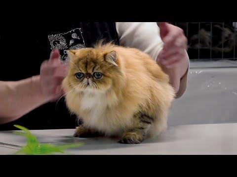 CFA International Cat Show 2017 - Championship Golden Persians