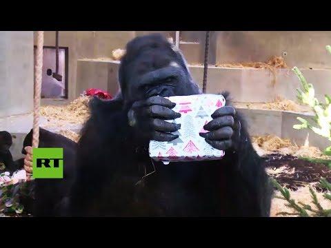 ¡Feliz 'Monidad'! Gorilas reciben regalos en el zoo de Stuttgart