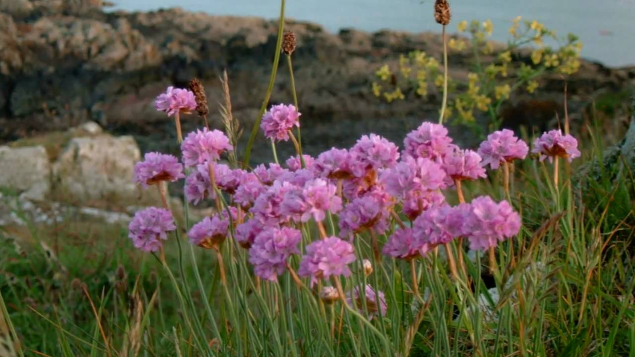 Coastal Wild Flowers Of Britain And Ireland Youtube