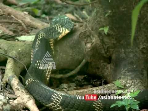 King Cobra Drinking water | Asianet News Exclusive Footage