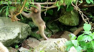 Baby monkeys playing hanging from trees