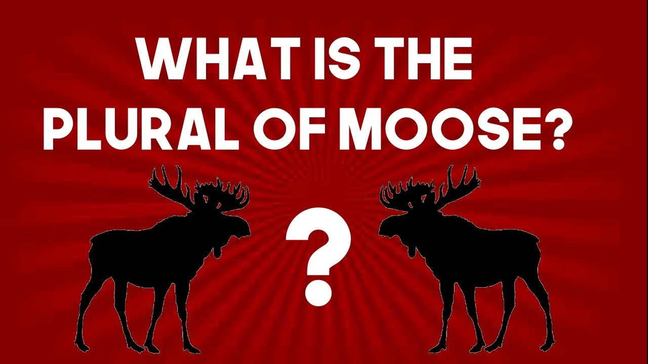 What Is The Plural Of Moose Youtube