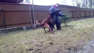 Обучение собак не подставляться под  удары.