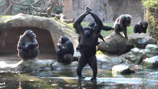 Funny Chimps... so human-like