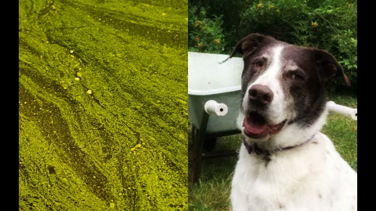 Three dogs played in a pond. Toxic algae killed them.