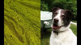 Blue-green algae linked to dog deaths