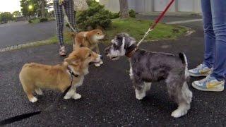 cute puppies 2015 welsh corgi pembroke https://www.youtube.com/play...