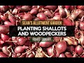 sean 39 s allotment garden 41 why a productive january and shallots january y2