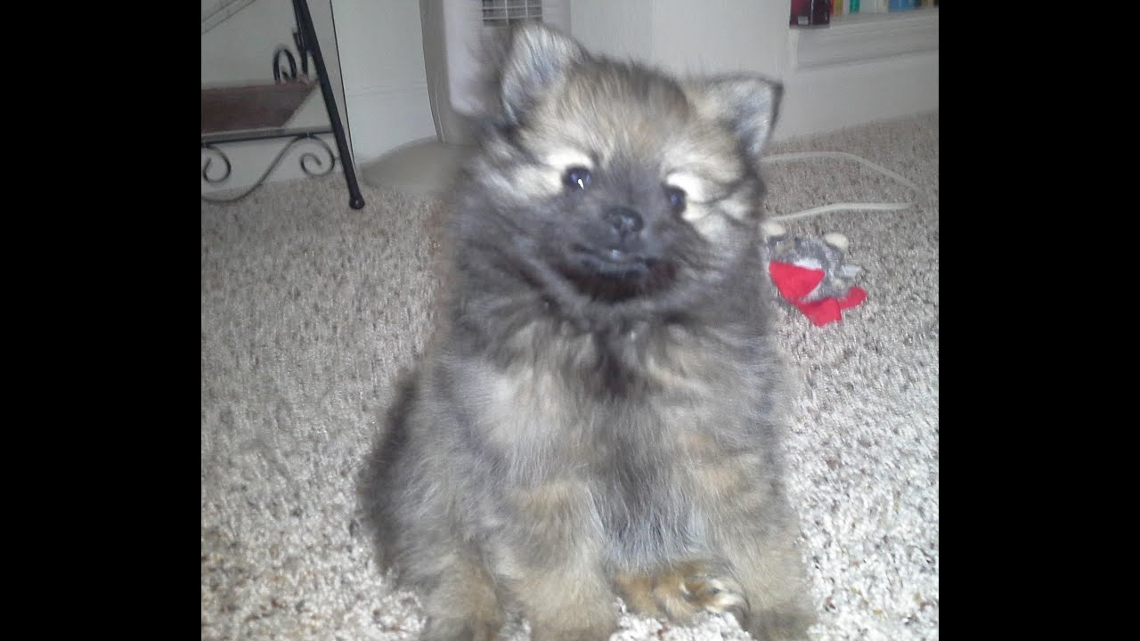 Wolf Sable Pomeranian Puppy Chewing On Toy Youtube