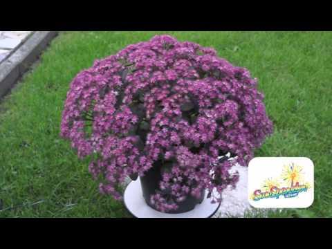 Sedum SunSparkler Dazzleberry