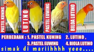 Perbedaan paskun - lutino - paswing dan biola lutino
