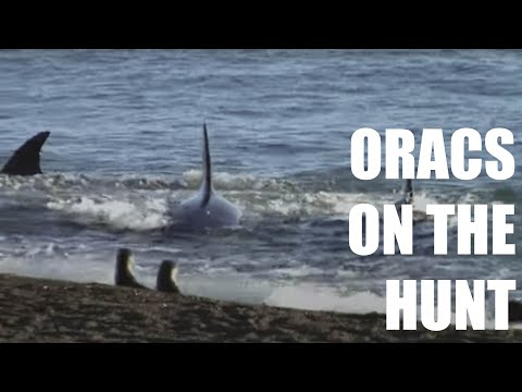 Orcas of Peninsula Valdes (HD)