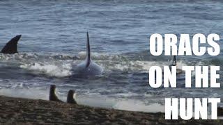 Orcas of Peninsula Valdes (HD)