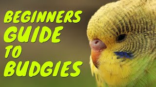 How to tame your Budgie?