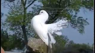 декоративные голуби - павлины, май 2012.avi(Павлины, май 2012 год, Варга Слава, крым +79787935085., 2012-05-23T22:40:28.000Z)