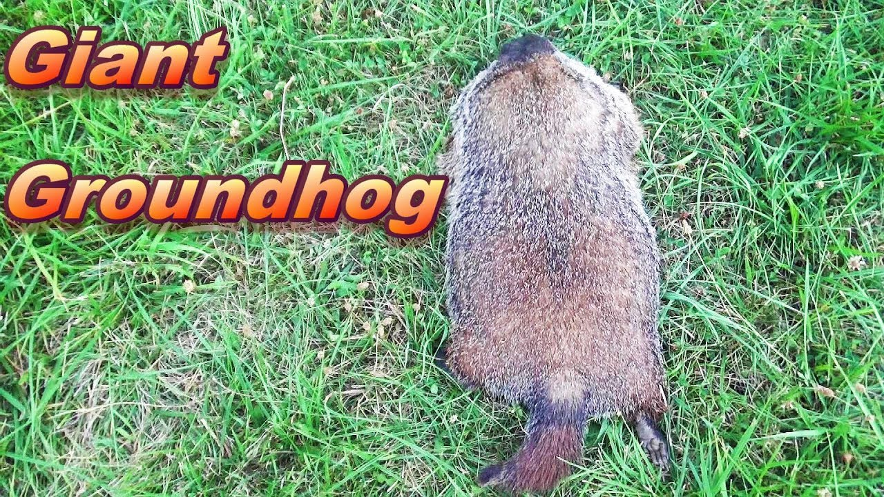 Download Trapping Giant Groundhogs
