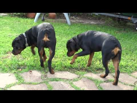 Rottweiler Brothers 10 months old