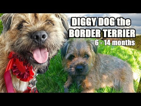 Diggy Dog  the crazy BORDER TERRIER - His 1st year compilation 6 - 14 months
