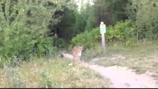 にじり寄るピューマ      encounter Mountain lion