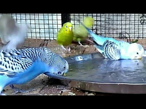 Lovebirds (budgie) taking shower (in India). How to shower your love birds/budgie