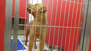 Pima Animal Care Center 6-16-18 Doggie Adoptable -Kaladin 3 Year Old Male Kennel 74