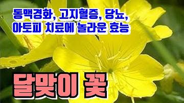 달맞이꽃 . 동맥경화 , 고지혈증 , 당뇨 , 아토피 치료에 놀라운 효능 . 달맞이 꽃