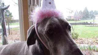 Our Weimaraner Jacki. Her 10th Birthday, And A Cancer Survivor