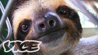 ナマケモノの赤ちゃん! - Baby Sloth Sanctuary