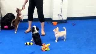 And In This Corner... Three Chi's At Saturday's Puppy Party