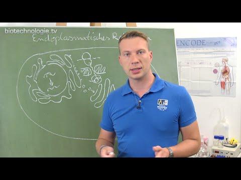 endoplasmatisches retikulum aufgabe
