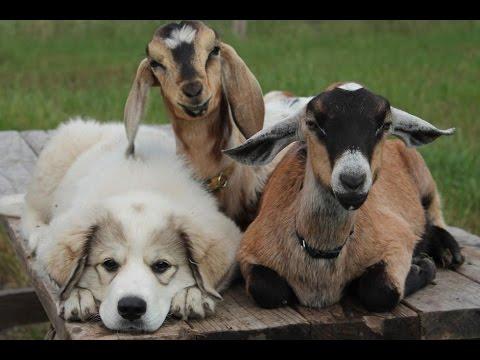 Shio Anjing dan Kambing