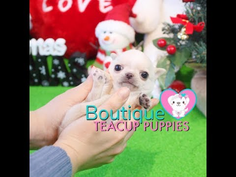 Download Amazing Micro Teacup Extreme Tiny Chihuahua Available Coco