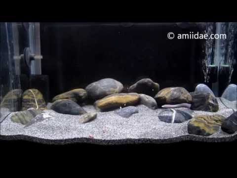 Congo River Blind Spiny Eel Feeding 2016 Mastacembelus brichardi